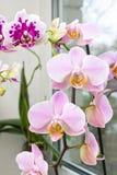 与大花的兰花在窗口 一朵充满活力的热带桃红色和桃子兰花开花,花卉背景 美丽的家庭花束 库存照片