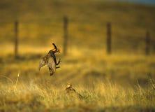 与大草原战斗的鸡 库存图片