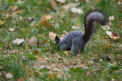 与大蓬松尾巴的灰鼠 免版税库存照片