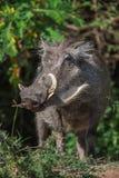 与大象牙的大warthog在他的膝盖在这中哺养画象的关闭 库存图片