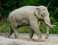 与大象牙的成人大象在柏林动物园在德国 免版税图库摄影