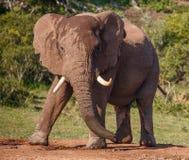 与大象牙的男性非洲大象 免版税库存图片