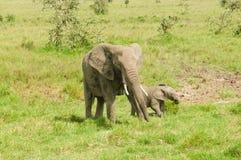 与大象牙的非洲大象 免版税库存图片