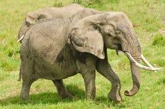 与大象牙的非洲大象 免版税图库摄影