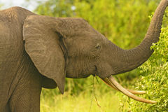 与大象牙的非洲大象 免版税库存照片