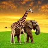 与大象的长颈鹿 免版税库存照片