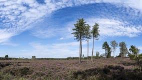 与大踢马刺树、蕨、天空蔚蓝和云彩,自然保护小室Treek,Woudenberg,荷兰的五颜六色的石南花风景 免版税图库摄影