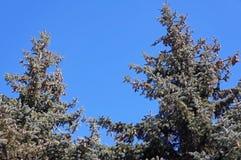 与大锥体的绿色杉木 免版税库存照片