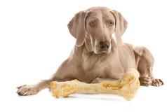 与大骨头的狗在白色 免版税库存照片