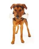 与大骨头的狗 库存照片