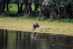 与大鱼的白被盯梢的老鹰临近河IJssel,荷兰 免版税库存照片