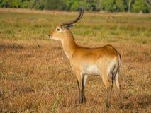 与大鹿角在大草原风景, Moremi国家公园,博茨瓦纳的庄严红色lechwe羚羊公牛 免版税库存图片