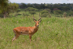 与大鹿角摆在的飞羚 免版税库存图片