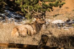 与大鹿角的公牛麋放下在草的在科罗拉多 免版税库存图片