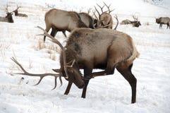 与大鹿角的公牛麋 免版税库存照片