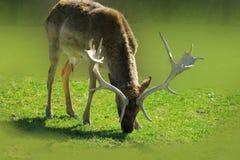 与大鹿角的大型装配架鹿 免版税库存图片