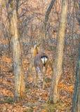 与大鹿角的成人鹿在森林 骄傲地举了他的头 库存图片