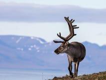 与大鹿角的斯瓦尔巴特群岛公驯鹿走在Bjorndalen在夏天,斯瓦尔巴特群岛的 免版税库存图片