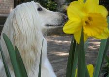 与大黄水仙花的阿富汗猎犬顶头外形 图库摄影