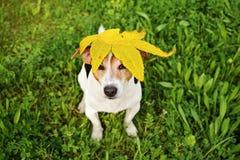 与大黄色槭树` s叶子的滑稽的狗在头 库存照片