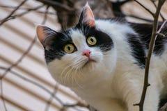 与大黄色眼睛和桃红色天鹅绒湿鼻子的一只美丽的成人幼小黑白的猫在树扰乱 免版税库存照片