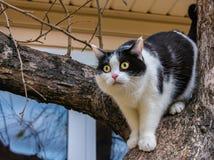 与大黄色眼睛和桃红色天鹅绒湿鼻子的一只美丽的成人幼小黑白的猫在树扰乱 免版税图库摄影