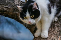 与大黄色眼睛和桃红色天鹅绒湿鼻子的一只美丽的成人幼小黑白的猫在树扰乱 库存照片