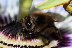 与大黄蜂的激情花 免版税库存图片
