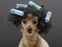 与大头发和卷发的人的小的长卷毛狗 免版税库存图片