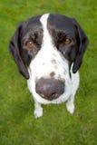 与大鼻子的狗 免版税库存图片