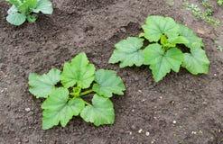 与大绿色叶子生长的夏南瓜 免版税库存照片