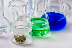 与大麻芽的实验室玻璃器皿在小玻璃容器 免版税库存图片