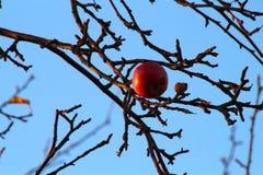 与天堂对比的红色苹果 图库摄影