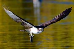 与天的抓住的白鹭的羽毛 库存照片