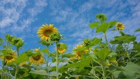 与天空的向日葵 库存图片