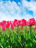 与天空的新鲜的洋红色郁金香 图库摄影