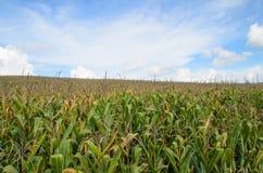 与天空的玉米 免版税库存图片