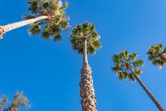 与天空蔚蓝的棕榈树在晴朗的下午 库存照片