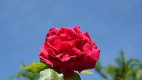 与天空蔚蓝的红色玫瑰在背景中 图库摄影