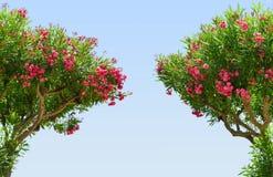 与天空蔚蓝的美丽的桃红色开花的夹竹桃夹竹桃夹竹桃 免版税库存照片