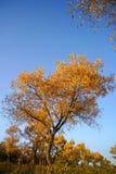 与天空蔚蓝的金黄杨属在秋天 库存图片