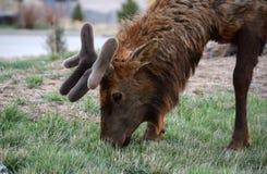 与天鹅绒鹿角的麋 库存照片
