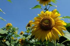 与太阳亮光的太阳花 免版税库存图片