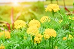 与太阳亮光的黄色万寿菊花 免版税库存图片