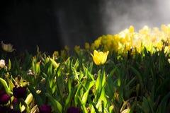与太阳光的被日光照射了黄色郁金香花发光对郁金香加尔德角 库存图片