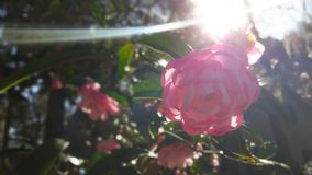 与太阳泄漏的山茶花花 库存图片