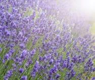 与太阳火光和fie的浅深度的美好的淡紫色领域 免版税图库摄影