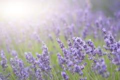与太阳火光和fie的浅深度的美好的淡紫色领域 图库摄影