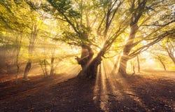 与太阳的不可思议的老树在日出有雾的森林发出光线 图库摄影