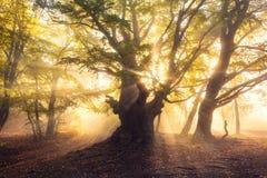 与太阳的不可思议的老树在日出有雾的森林发出光线 免版税库存照片